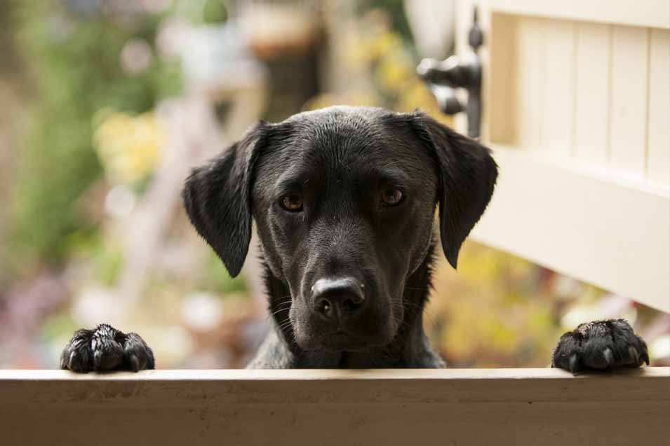 Picture of a black lab puppy by the fence