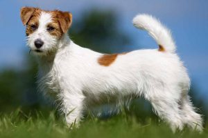 Picture of a Jack Russell Terrier on the grass
