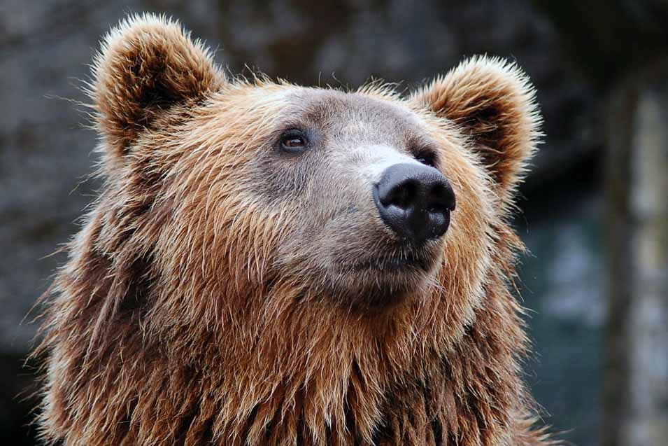 Picture of a Grizzly Bear