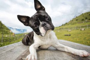 Picture of a boston terrier on a picnic table