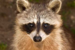 Picture of a cute raccoon