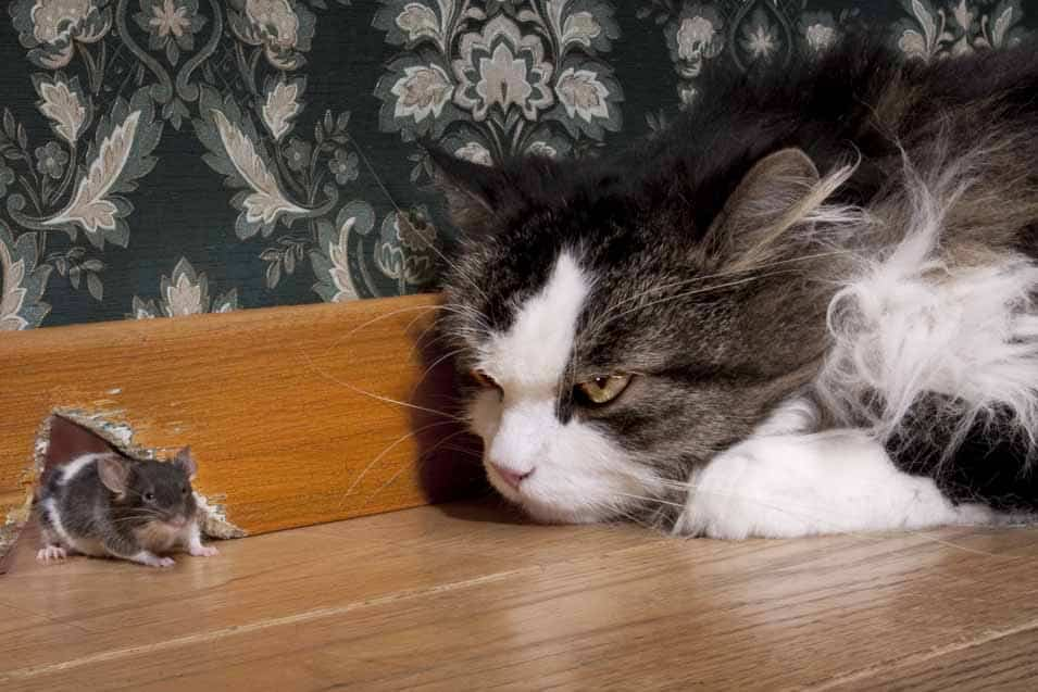 Picture of a cat looking at a mouse