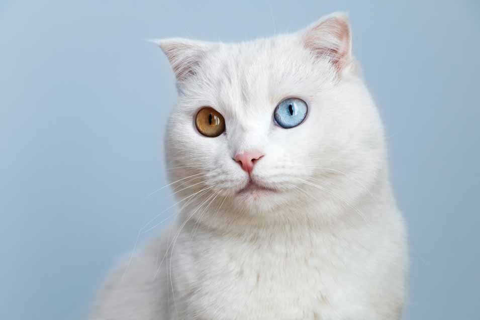 Picture of a cat with 2 different color of eyes