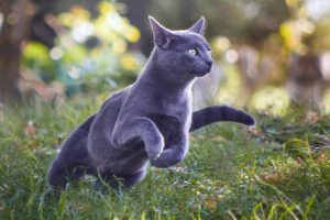 Picture of a grey cat hunting outside