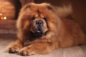 Picture ofa chow chow near a fire place