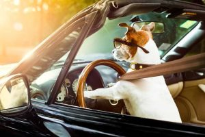 Picture of a dog in the front seat driving