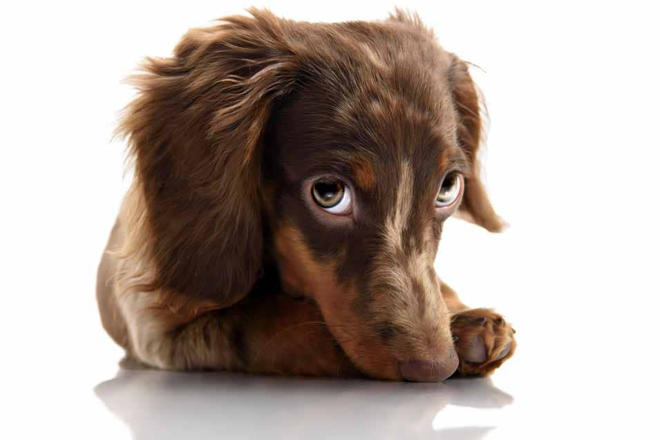 Picture of a funny Dachshund