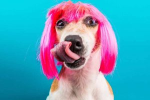 Picture of a dog wearing a pin wig