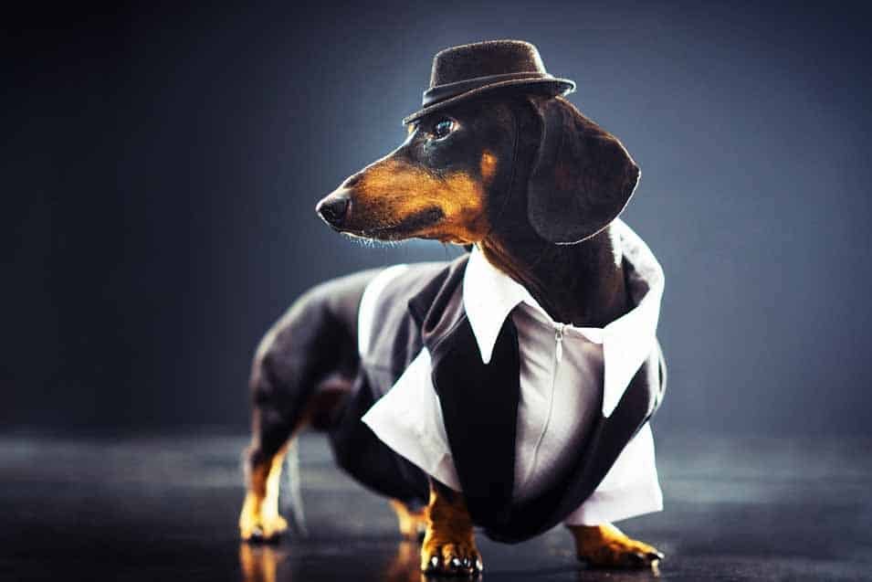 Picture of a dachshund dressed up