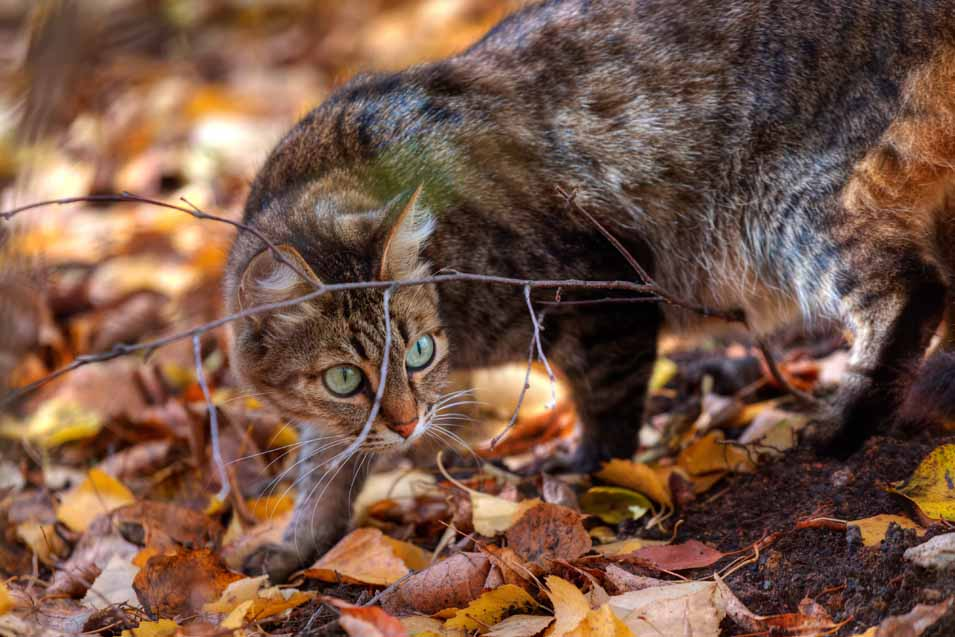 Picture of a Mackerel Tabby Cat
