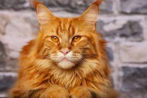 Picture of an Orange Tabby Cats