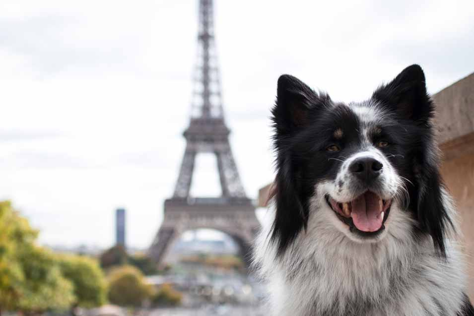 Picture of a dog in Paris near the Eiffel Tower