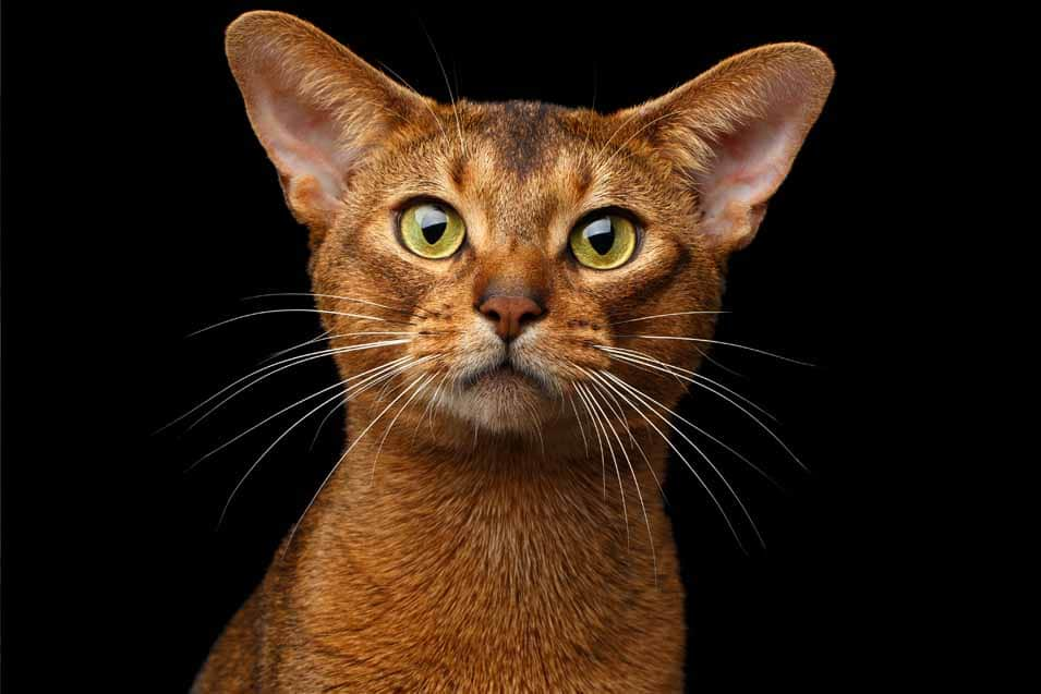 Picture of a Abyssinian Tabby Cat