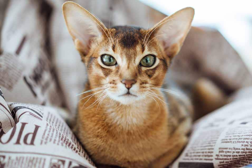 Picture of a Ticked Tabby Cat