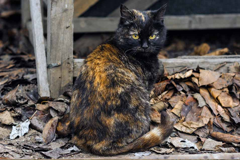 Picture of a Tortoiseshell Cat outside