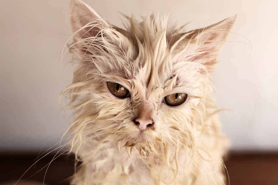 Picture of wet white cat