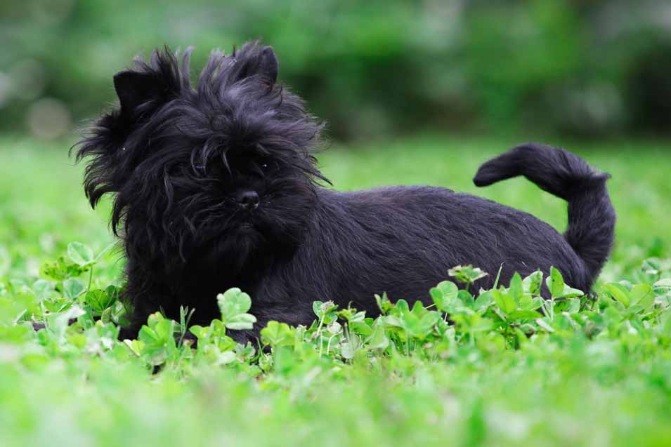 Picture of an Affenpinscher