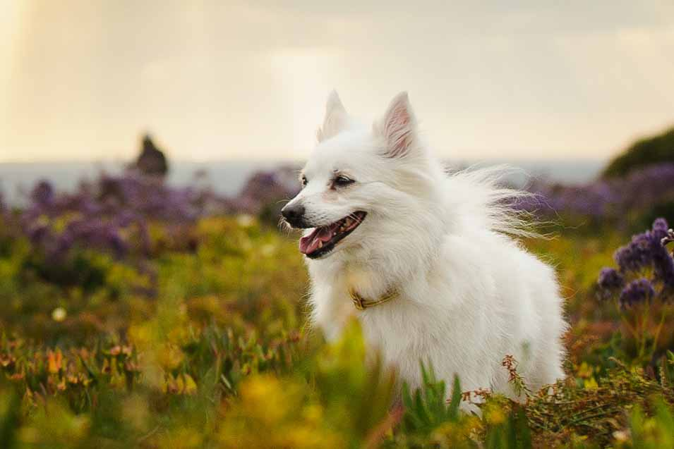 Picture of a American Eskimo Dog