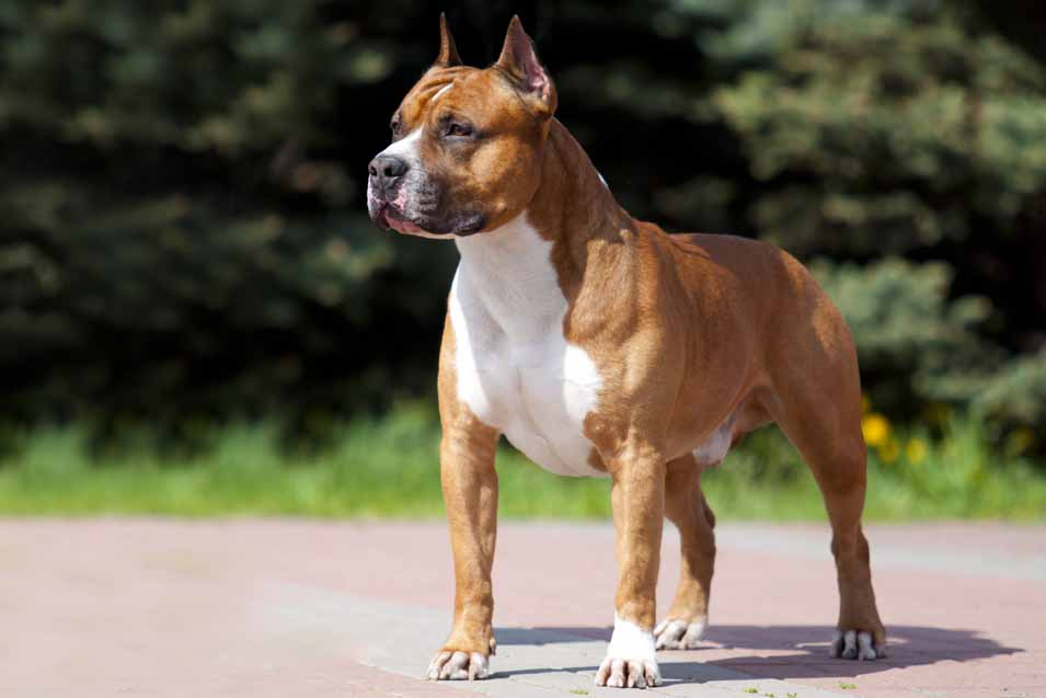Picture of a • American Staffordshire Terrier