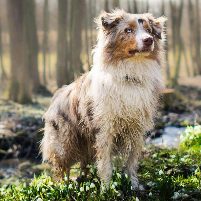 Picture of an Australian Shepherd outside
