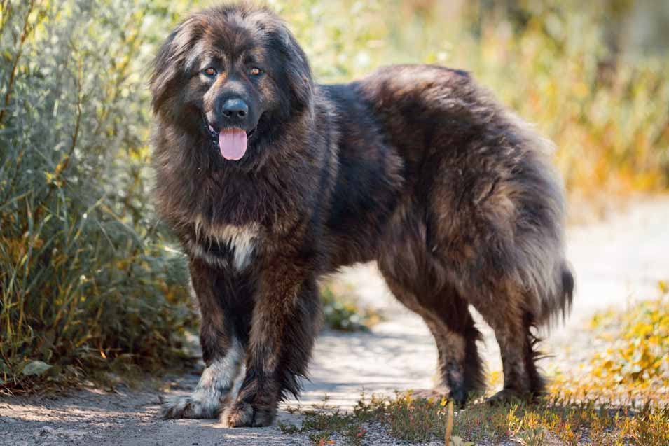 Picture of a Caucasian Shepherd