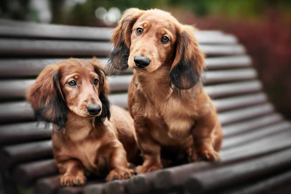 Picture of a 2 Dachshunds