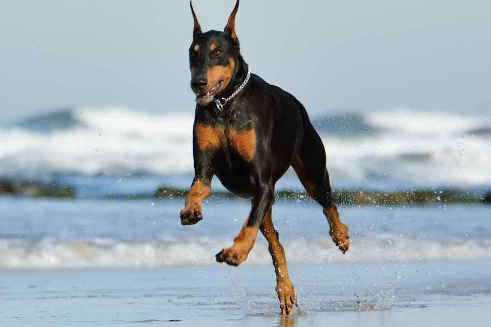 Picture of a Doberman Pinscher running at the sea