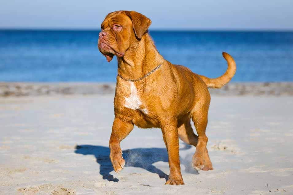 Picture of a Dogue de Bordeaux near the ocean