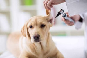 Picture of a veterinarian looking at a dogs ear