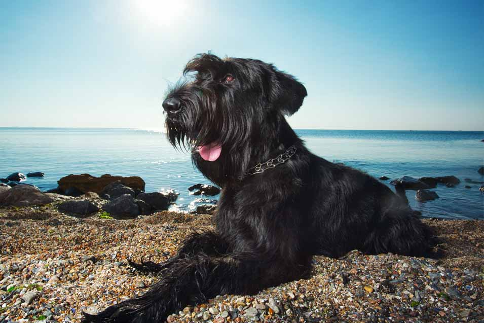 Picture of a a Giant Schnauzer