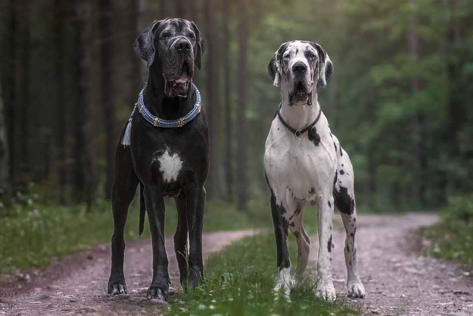 Picture of 2 Great Danes in the forest