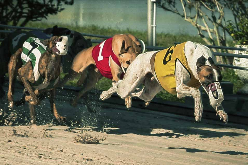 Picture of racing greyhounds