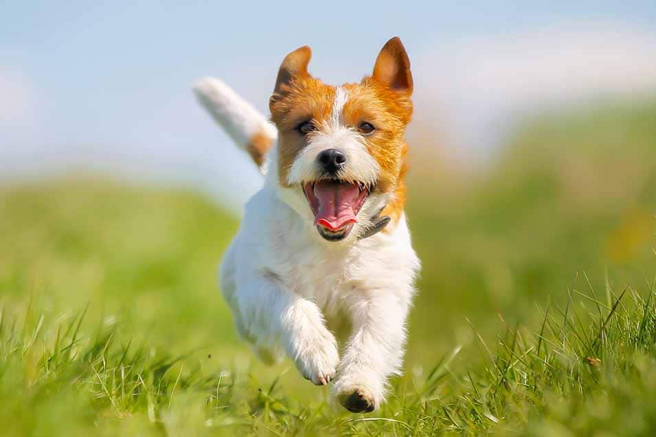 Picture of a Jack Russell Terrier