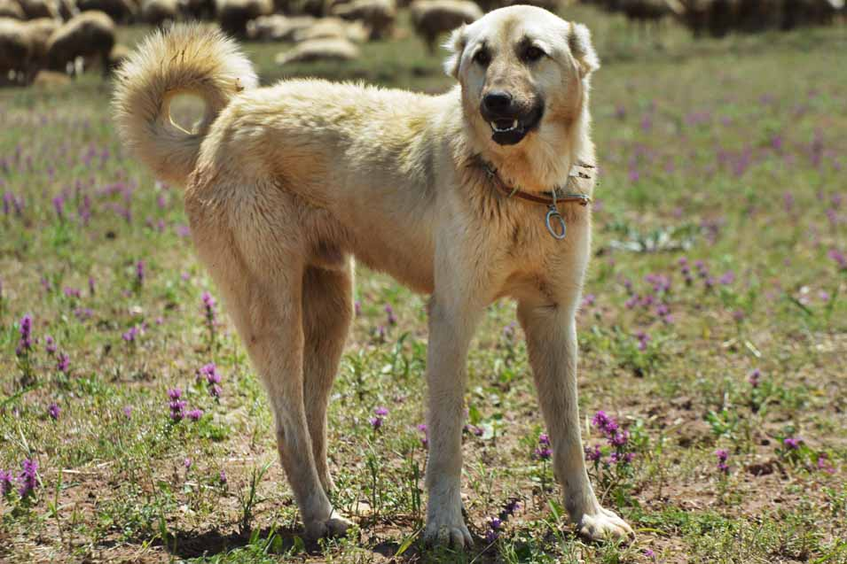Picture of a Kangal Dog
