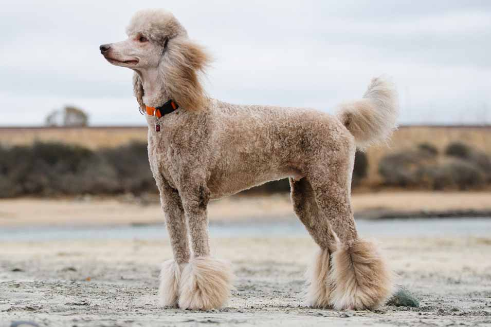 Picture of a Poodle