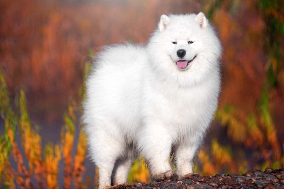 Picture of a Samoyed during Autumn
