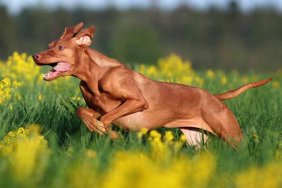 Picture of a Vizsla