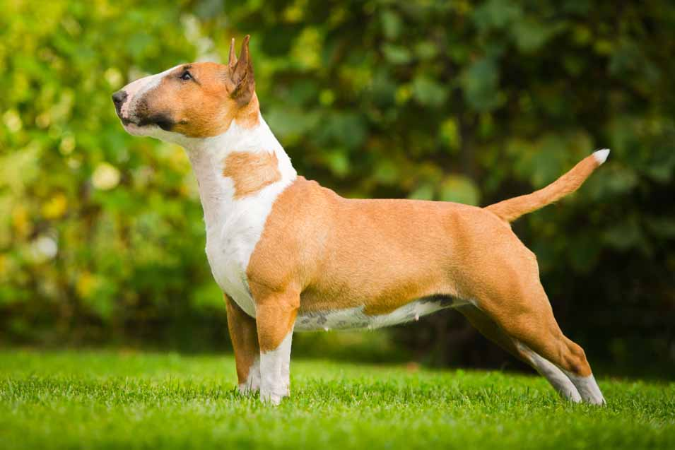 Picture of a Bull Terrier