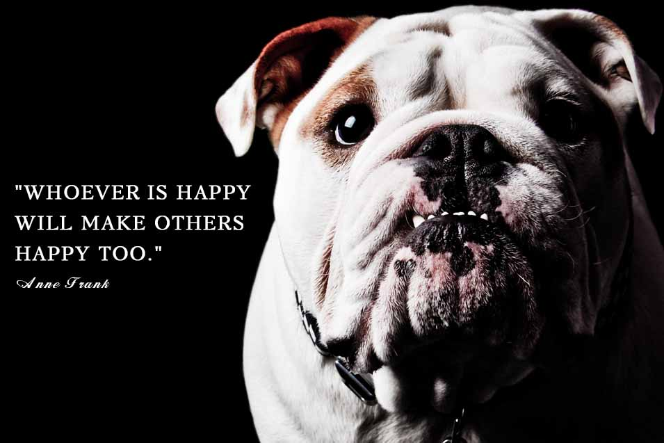 Picture of a happy bulldog on black