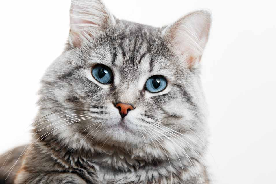 Picture of a Grey Tabby Cat on white background