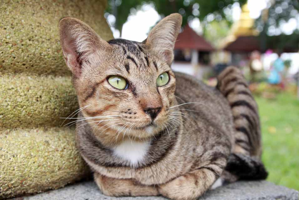 Picture of a Mackerel Tabby Cat with green eyes