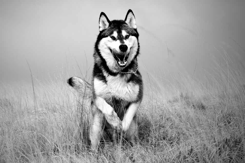 Picture of a Husky running in a field