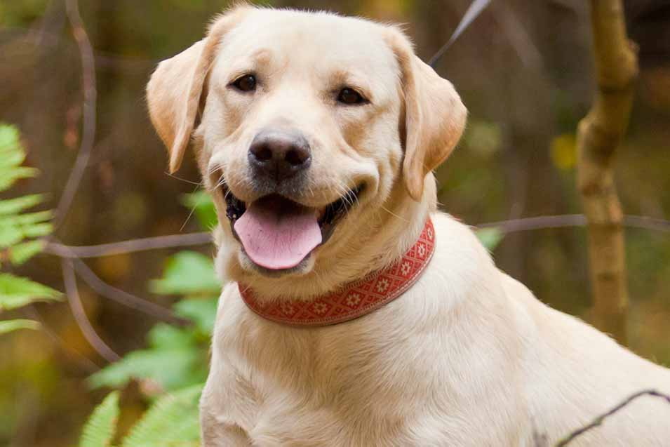 Picture of a labrador retriever in the forest