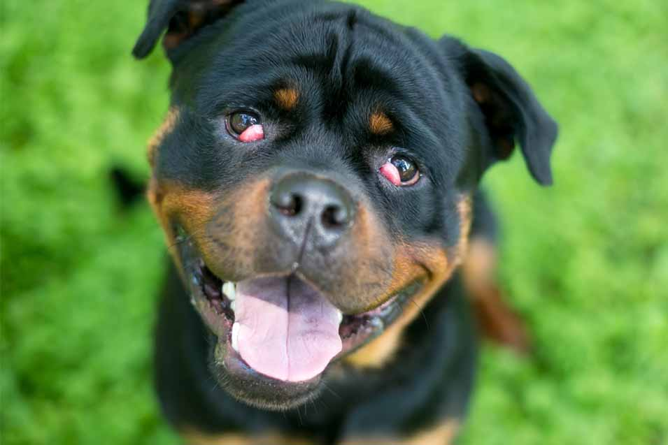 Picture of Cherry Eye in a Rottweiler