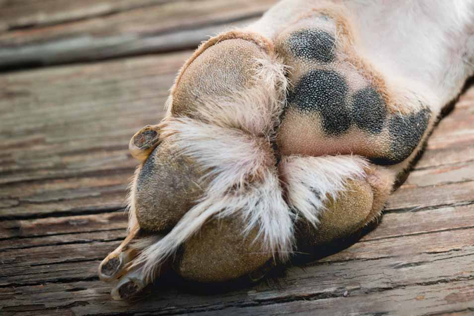Closeup picture of a dogs paw