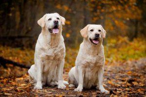 Picture of 2 labrador retrievers
