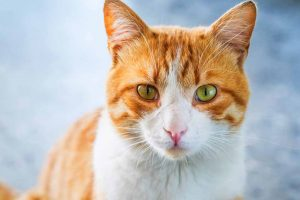 Picture of an older orange cat