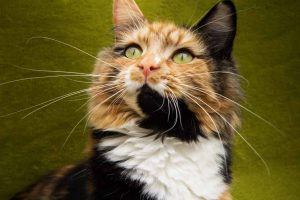 Picture of a Calico Cat