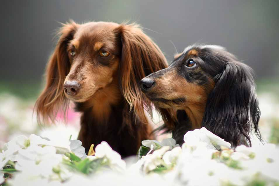 Picture of two male dachshunds