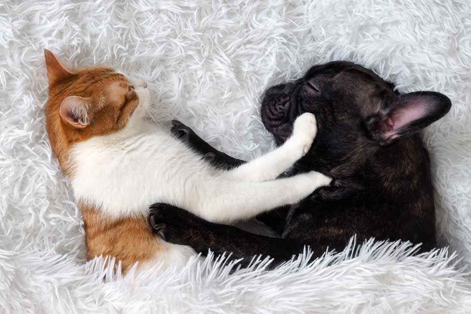 Picture of a dog and cat in bed